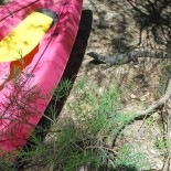 Lizards love kayaking too